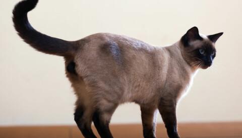 Katt Vibrerande Svans