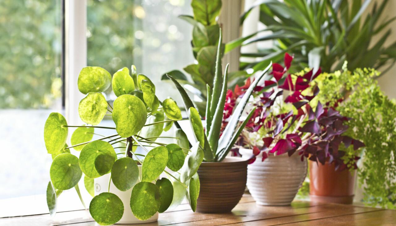 Krukväxter i fönster.