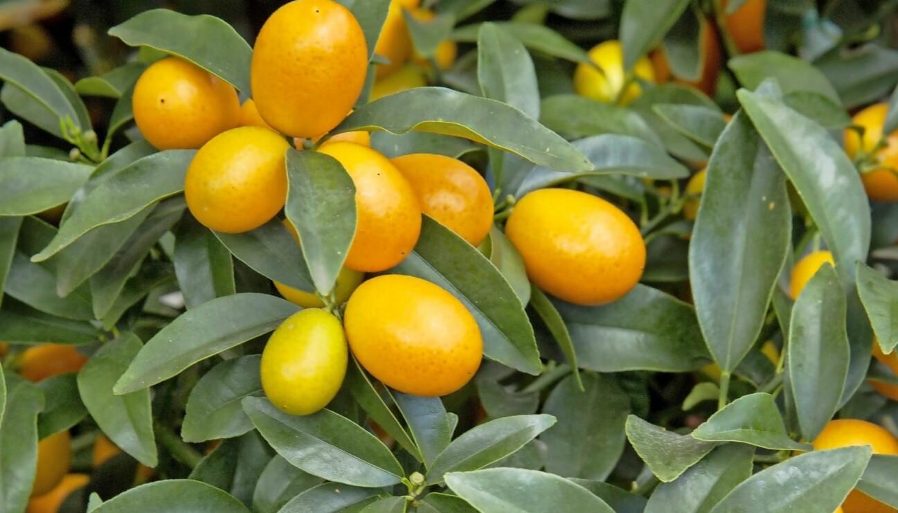 Kumquat på uteplatsen.
