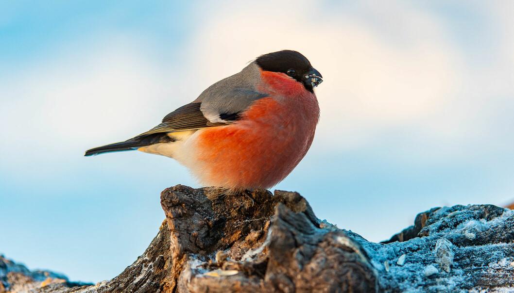 Småfåglar kan vara svåra att identifera – men vi hjälper dig. Här har du till exempel en domherre.