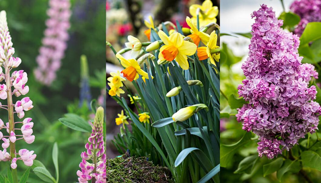 Lupiner, syren och påskliljor kan komma att förbjudas.