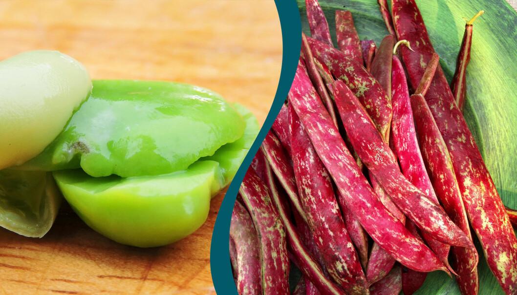 Delad bild. Till vänster: En nyskördad bondböna. Till höger: Borlottibönor på ett fat.