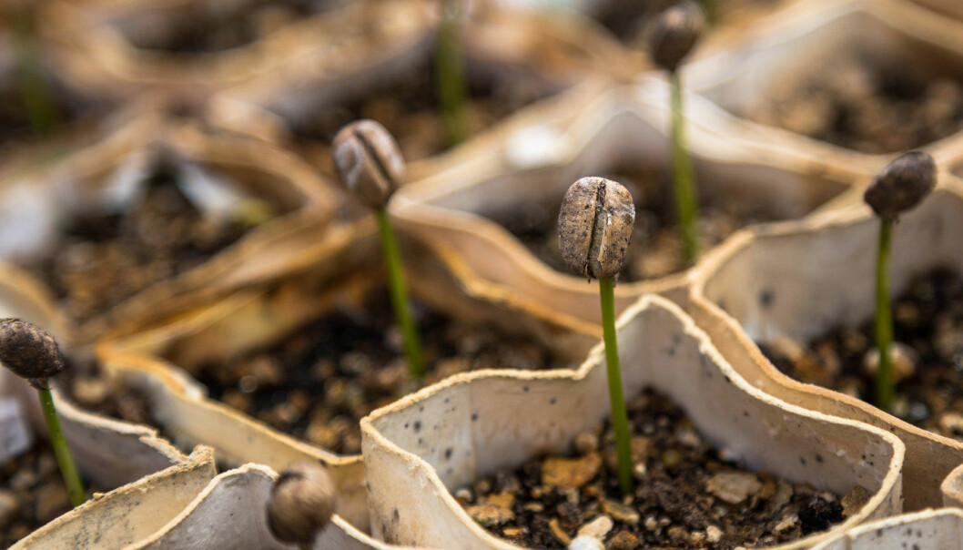 Fröer som har börjat gro och tar sig upp ur jorden.