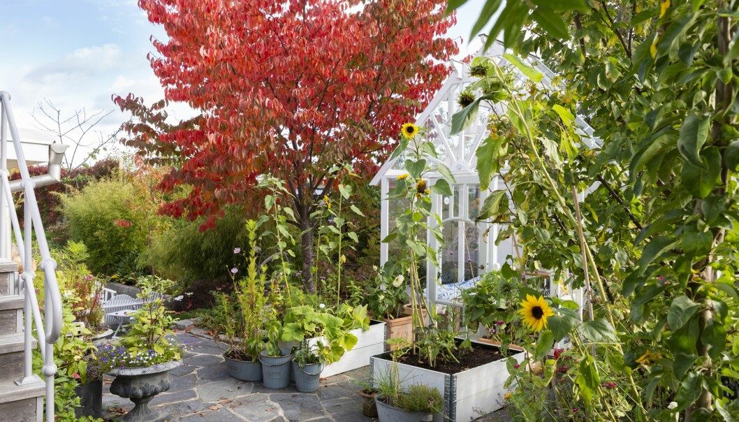 Magiska höstträd samsas med solrosor och växthus i Josefinas vackra trädgård.