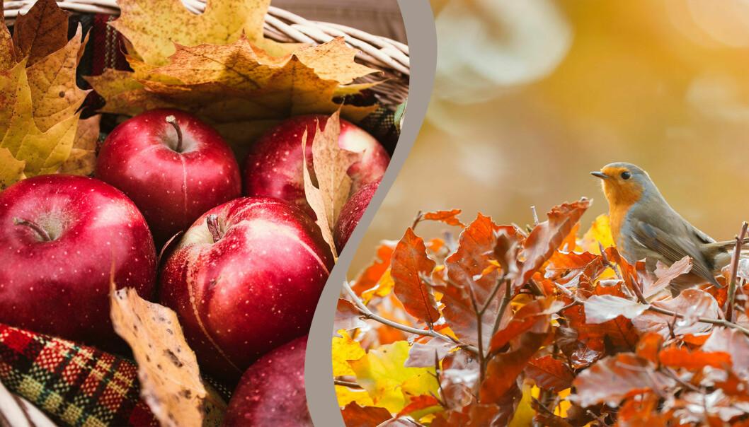 Frukter och bär kan plockas nu och sparas till vintern när småfåglarna behöver dem.