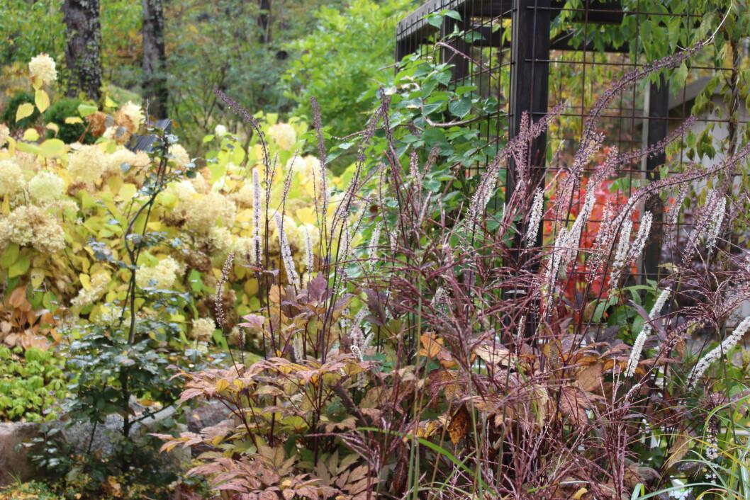 I förgrunden miskantusgräset 'Kleine Fontäne' som får fina lila vippor på hösten.