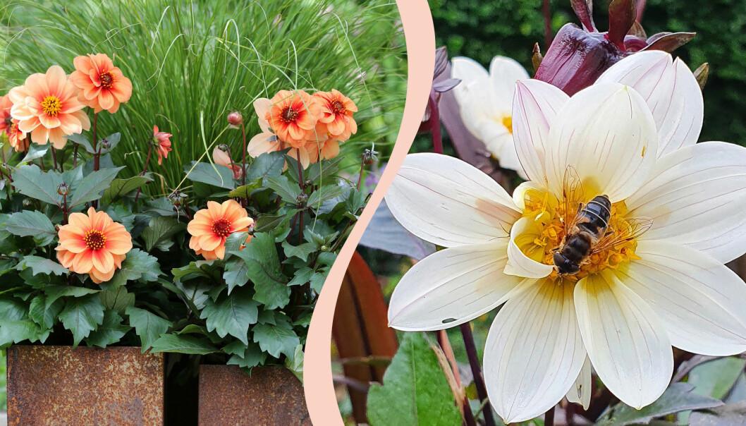 Delad bild. Till vänster: En orange dahlia 'Dreamy'. Till höger: Ett bi pollinerar en vit dahlia 'Dreamy'. Årets sommarblomma 2021.