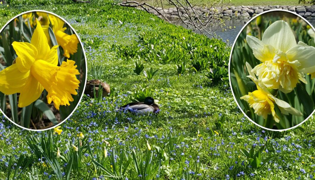 Narcisser blommar mellan april och maj. Sommarmånaderna vilar den sig och till hösten börjar den växa igen.