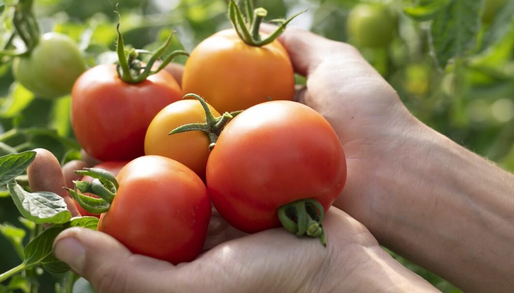 Klara odlar biointensivt för att få ut flera skördar per säsong, det ska i princip aldrig vara tomt i odlingsbäddarna.