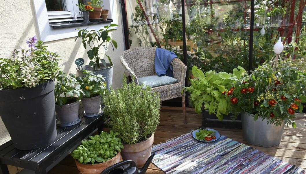 En hel liten köksträdgård på terrassen med allt odlat i krukor.