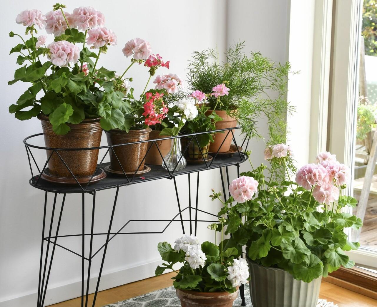 Omplanterade pelargoner i blomsterlåda.