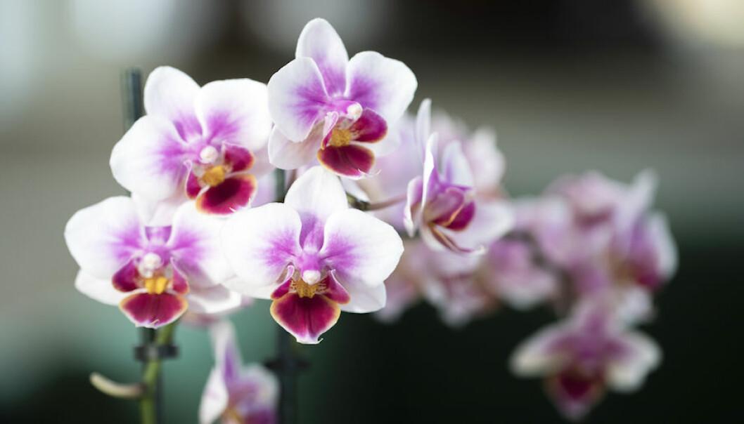 Fina orkidéer med rätt vattning