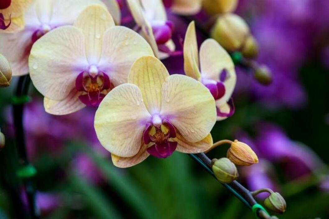 Fina orkidéer.