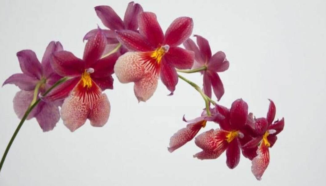Så här får du dina orkidéer att vakna till liv igen.