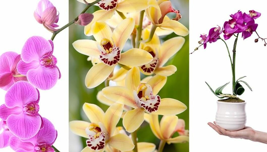 Vackra orkidéer! Här får du sju riktigt bra skötselråd