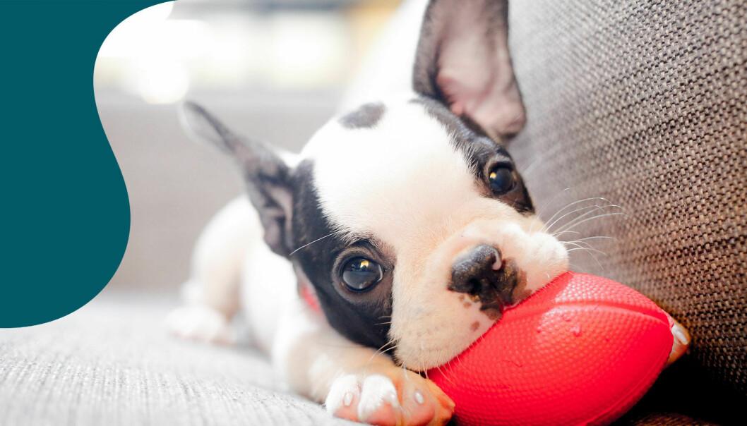 En liten hundvalp, av rasen fransk bulldog, ligger i en soffa och tuggar på en leksak.