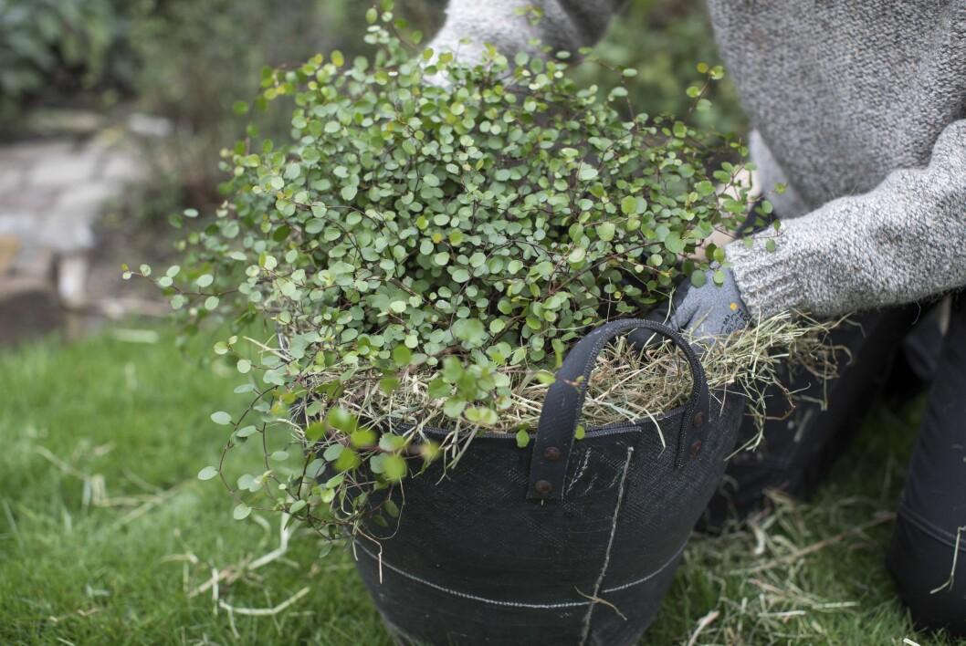 En ytterkruka, ett tjockt lager halm eller hö och din växt i mitten. Det här är ett sätt att övervintra växter i ett kallväxthus. Utomhus blir halmen blöt och kommer att mögla.