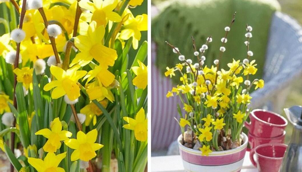 Narcisser, såsom påskliljor, är perfekta till trädgården i påsk.