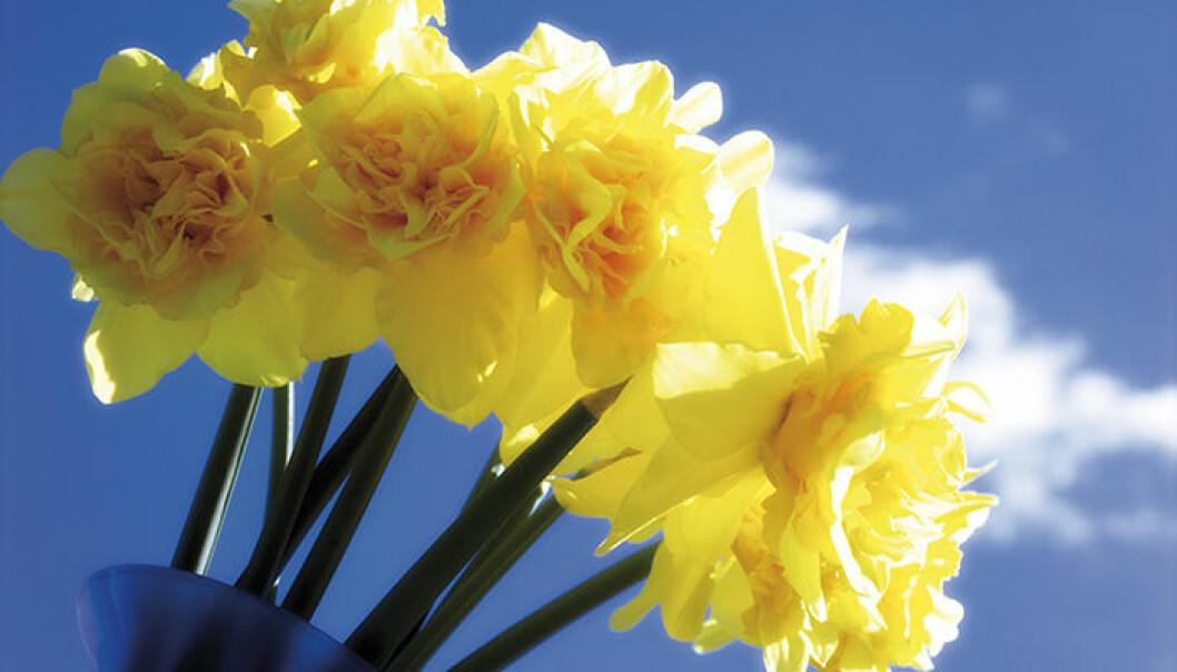 Plantera ut dina påskliljelökar så får du vacker blom nästa år.