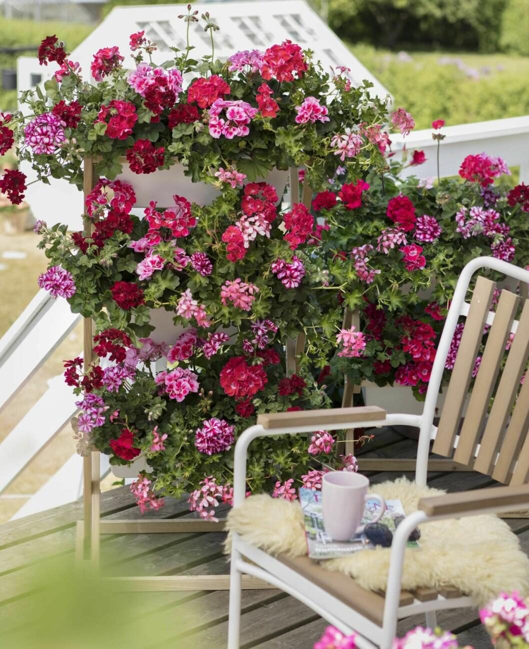 Pelargoner som växer på höjden. I förgrunden en stol med kaffekopp och filt.