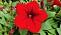 Petunia 'Surfina Deep Red'