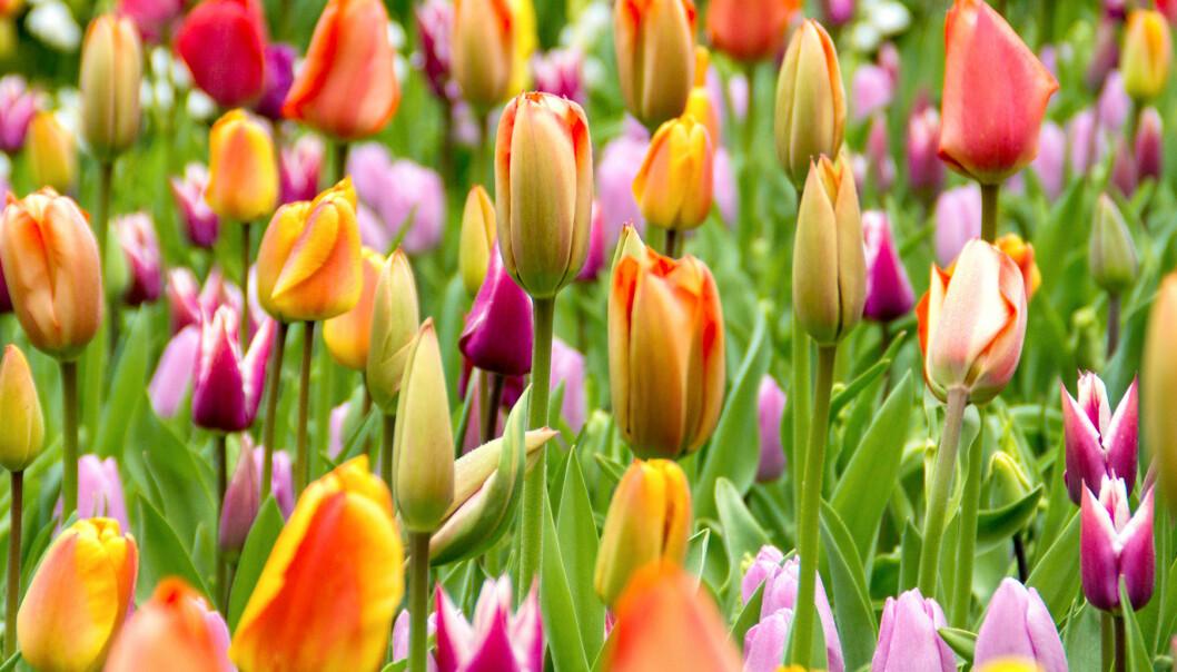 Tulpaner som blommar