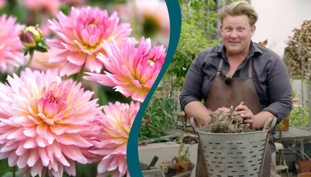 Delad bild. Till vänster syns blommande rosa dahlior. Till höger syns Karl Fredrik Gustafsson som planterar dahliaknölar efter vintervilan.