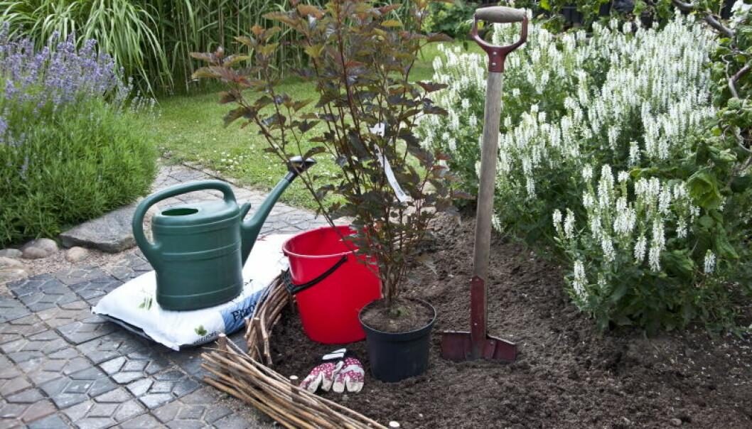 Plantera en buske – så här gör du!
