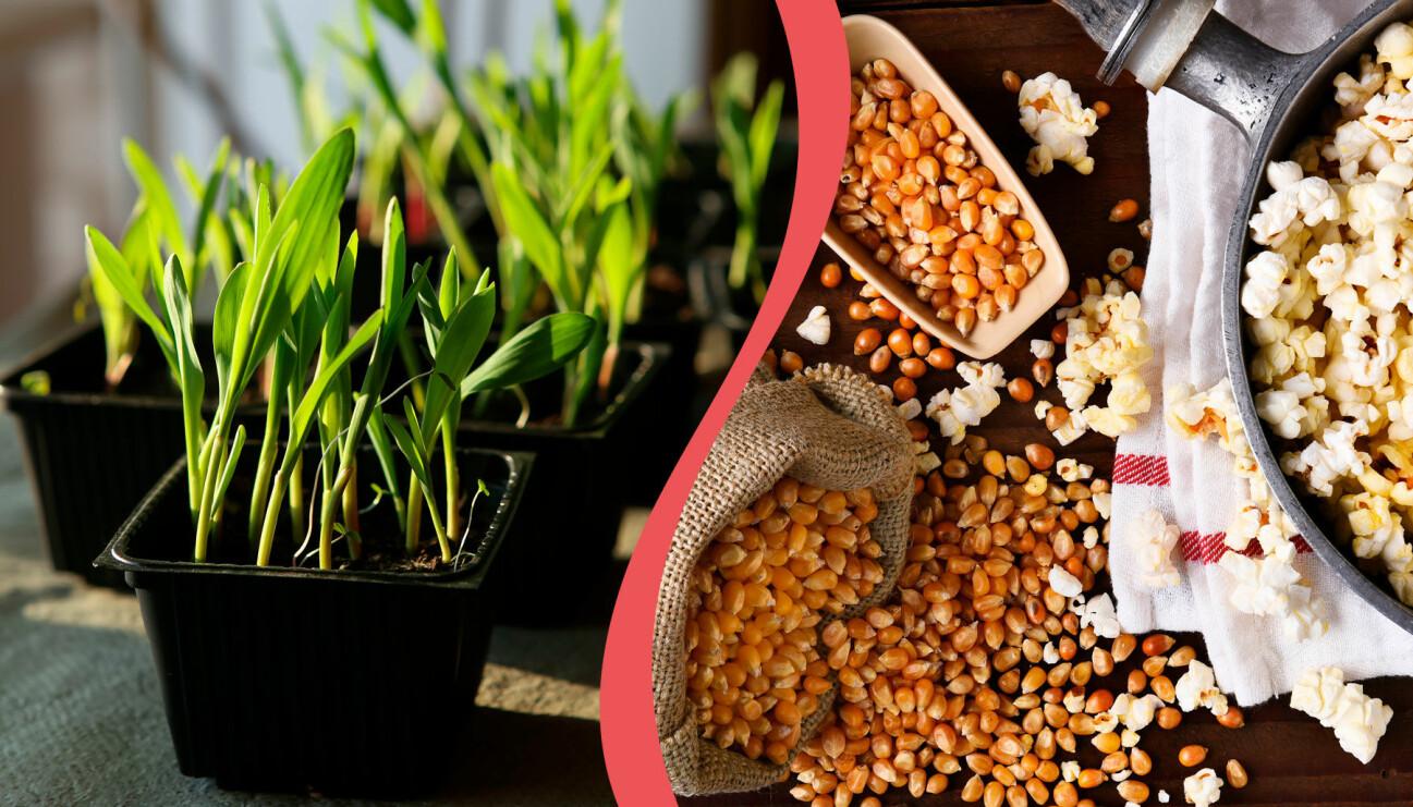 Delad bild. Till vänster: Popcornkärnor som börjat gro. Till höger: Popcornkärnor och färdiga popcorn.