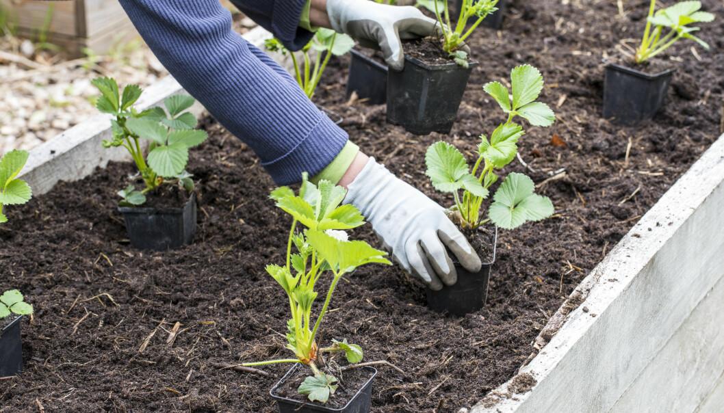 Plantorna sätts något tätare i odlingslådan än på friland