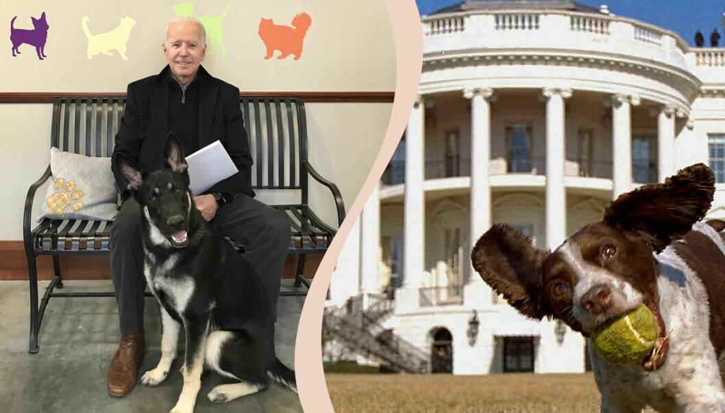 Joe Biden med sin hund och en annan hund framför vita huset.