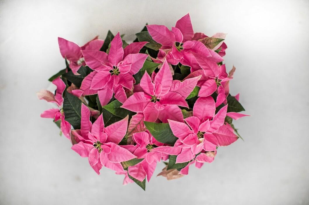 Julstjärnan 'Princettia Hot Pink'