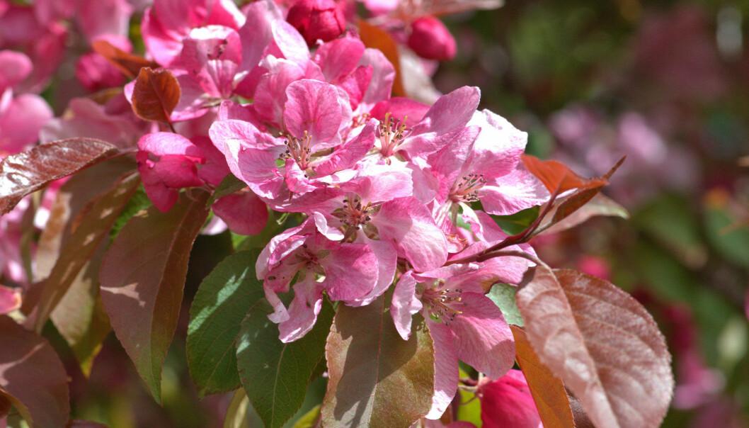 Prydnadsapel i blom