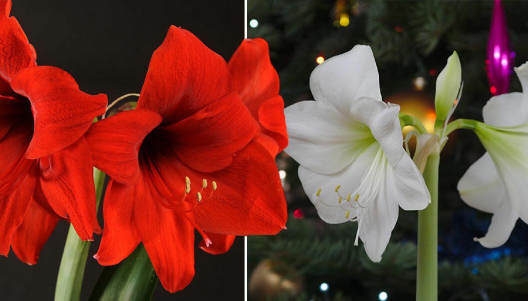 En röd och en vit amaryllis. Så här får du dem att hålla längre än till jul.