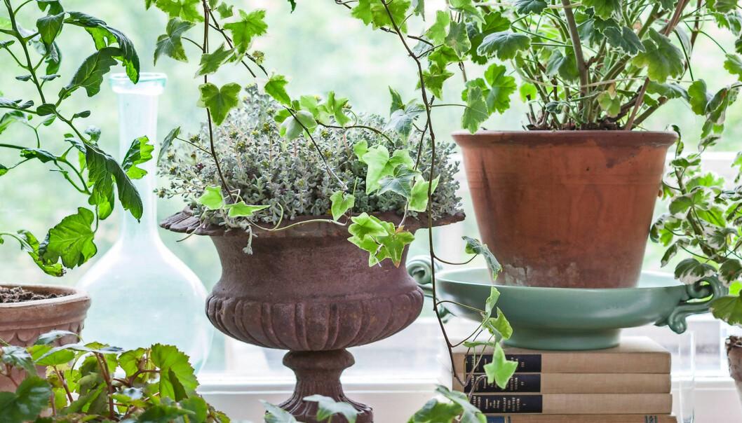 Olika krukväxter i ett fönster.