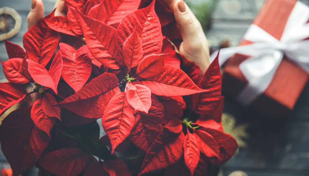 Röd glittrig julstjärna.