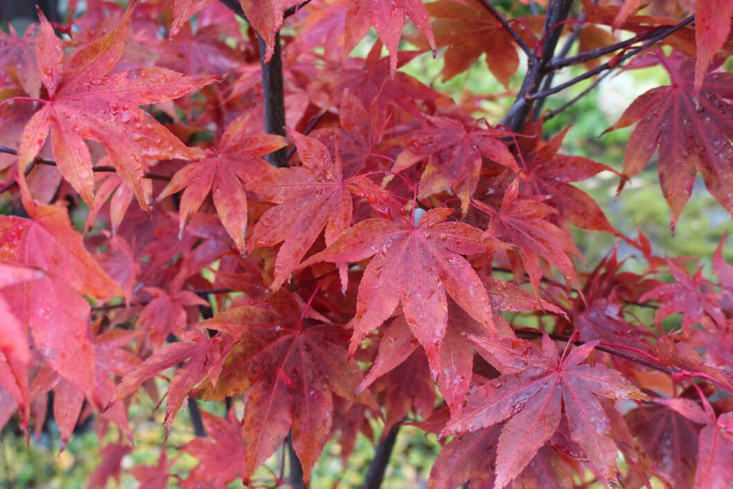 Japansk lönn är ett makalöst inslag på hösten i Årets trädgård 2020.