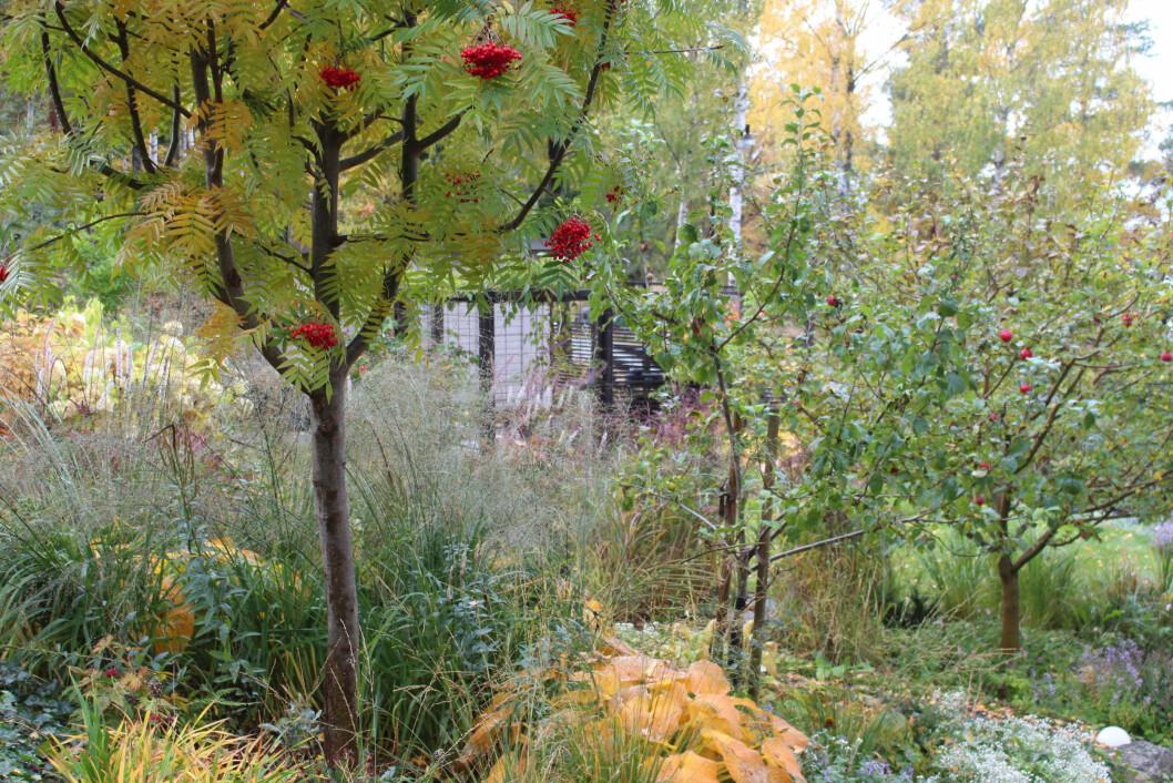 Rönnbärsträden ger färger i ett annars gult och höstfärgat landskap.