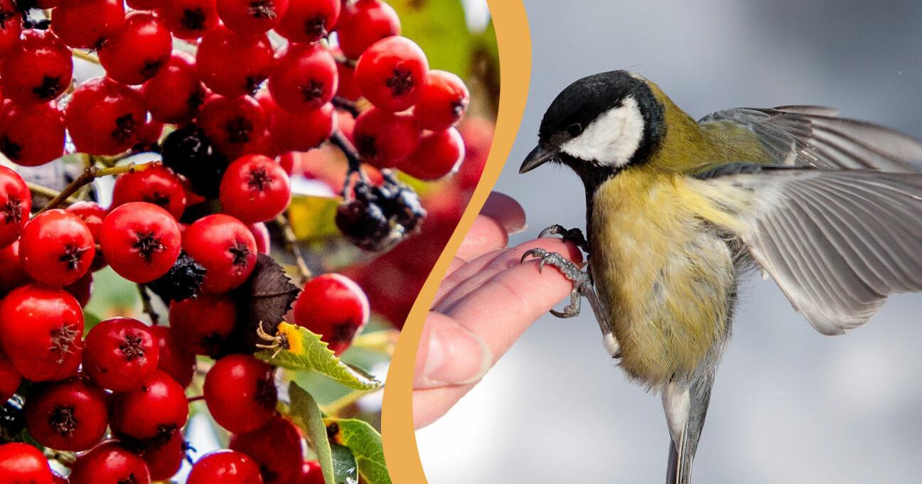 Rönnbär och en fågel i kombination då de båda är en del av olika ordspråk och uttryck.