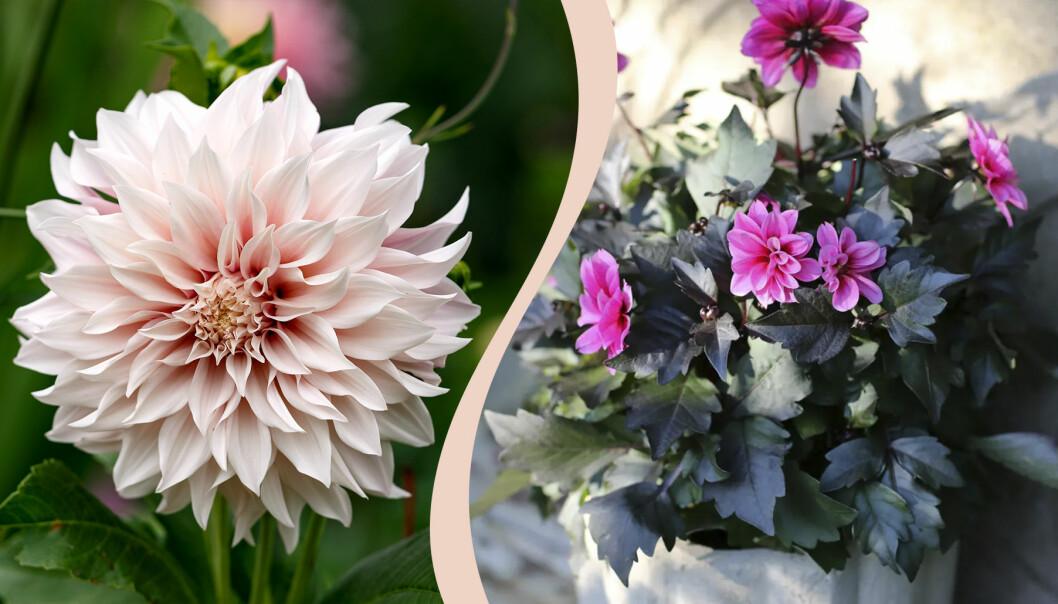 Två olika sorters dahlior i rosa och lila färg.