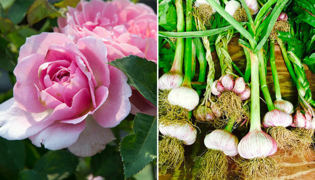 Rosor och vitlök kan planteras ihop.
