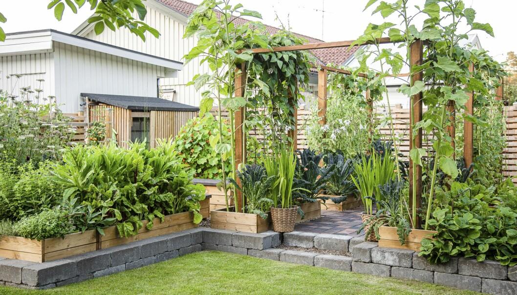 Köksträdgården är uppbyggt på stenplattor och ligger nära huset så det är enkelt att gå ut och stoppa något gott i munnen.