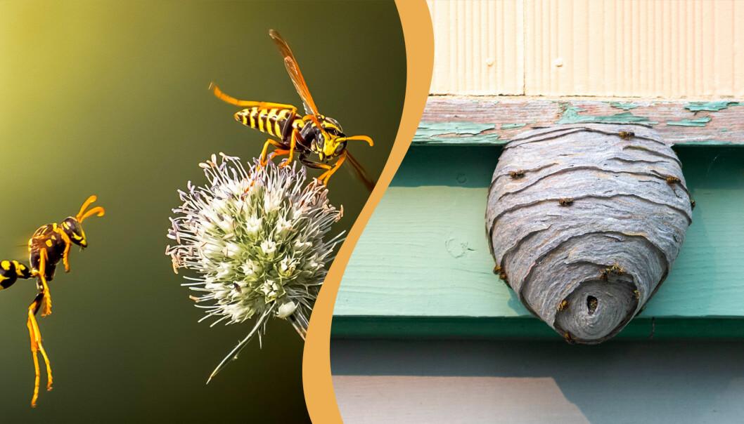 Delad bild. Till vänster: Två getingar som pollinerar en blomma. Till höger: Ett getingbo som inte tagits bort innan midsommar.