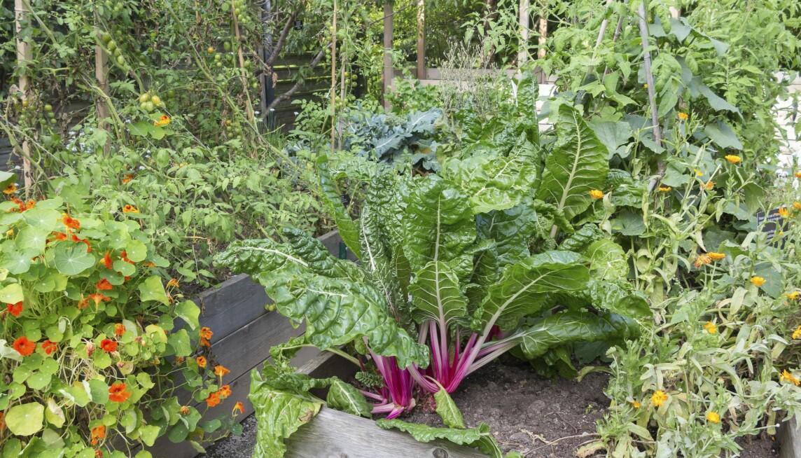 En upphöjd odlingsbädd i grönsaklandet.
