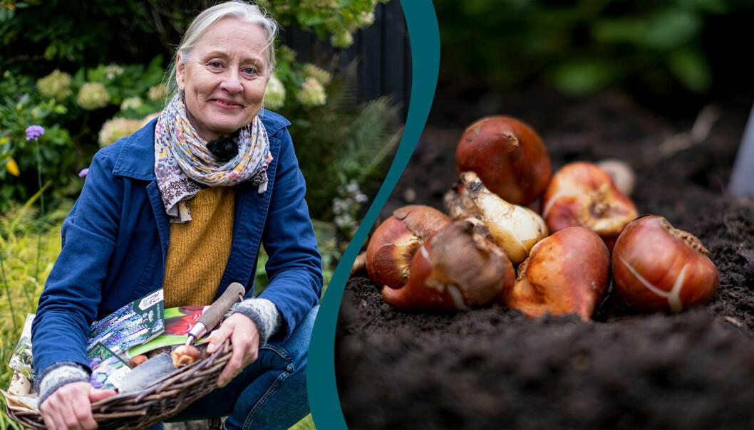 Hösten är vårlökarnas tid, i alla fall när det gäller planteringen. Sätt dem i krukor, rabatter eller gräsmattan – du kan aldrig få för många!
