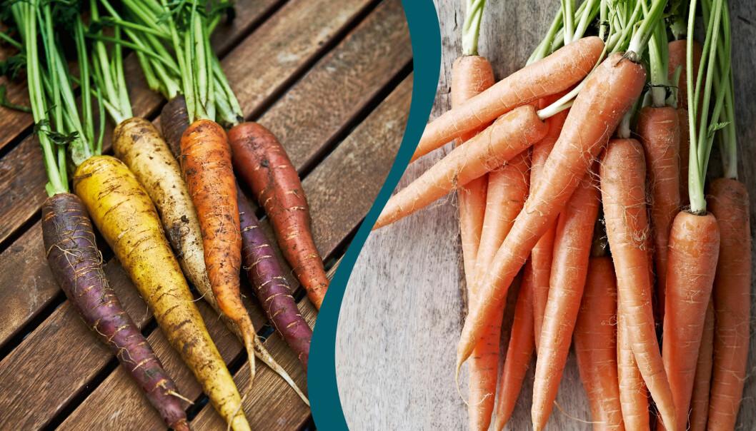 Delad bild på olika sorters morötter. Till vänster: Morötter i olika färger. Till höger: Vanliga orange morötter.