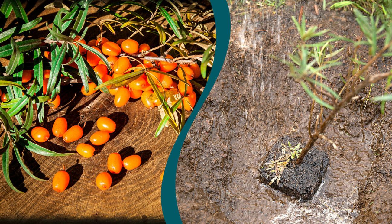 Vackra havtornsbär till vänster. Till höger: En havtornsbuske som vattnas när den planteras.