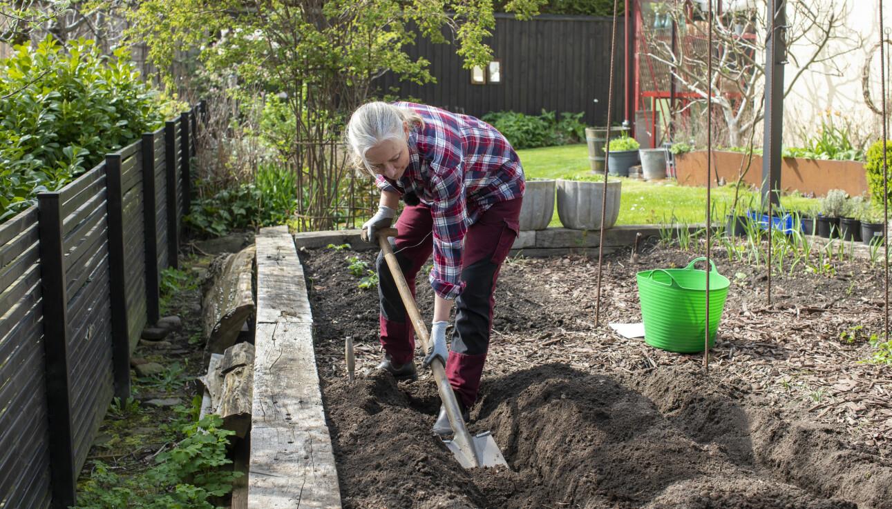 Anni Jähde gräver för att plantera sparris.
