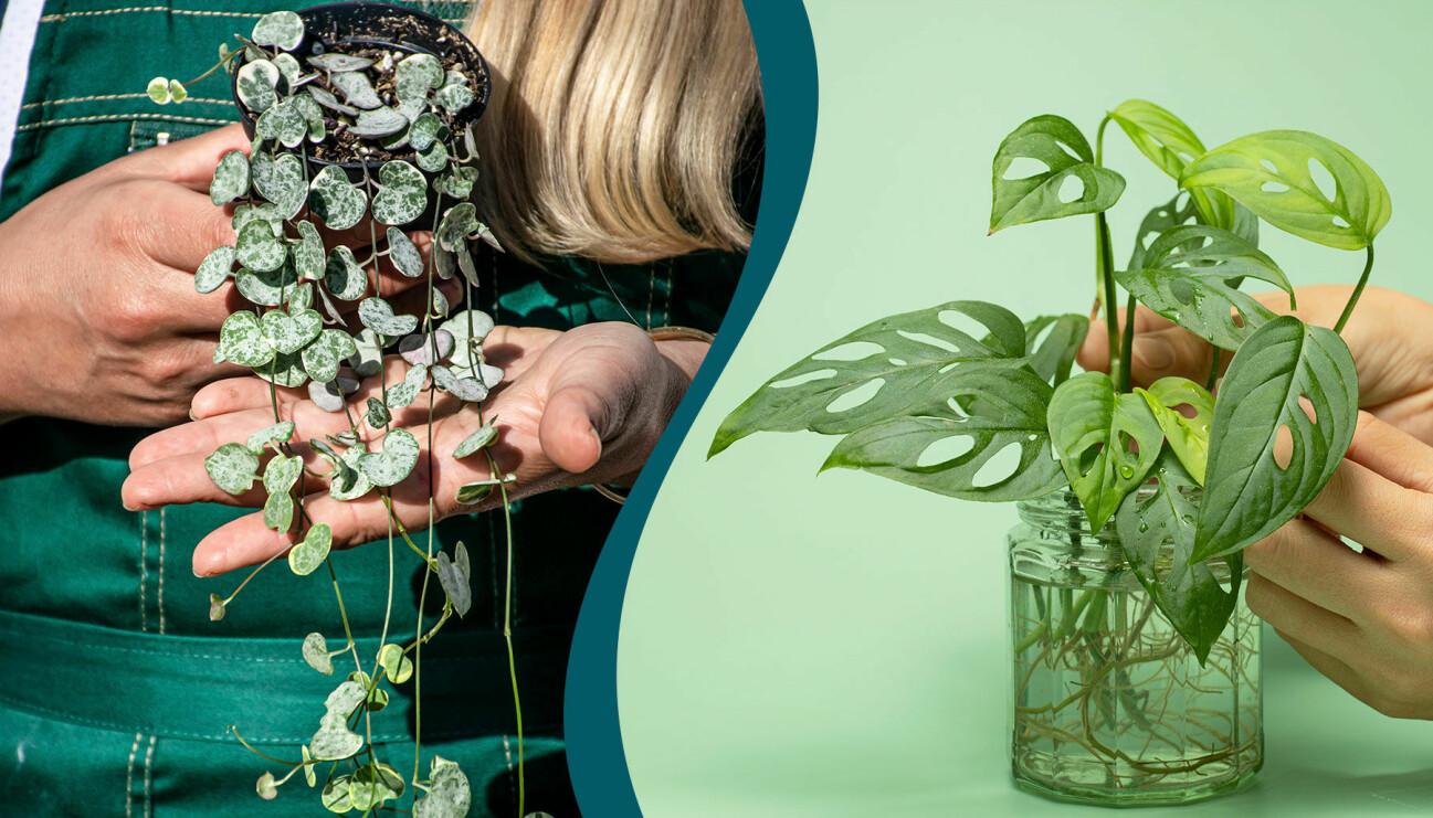 Lyktranka och monstera går bra att dela för att få fler växter.