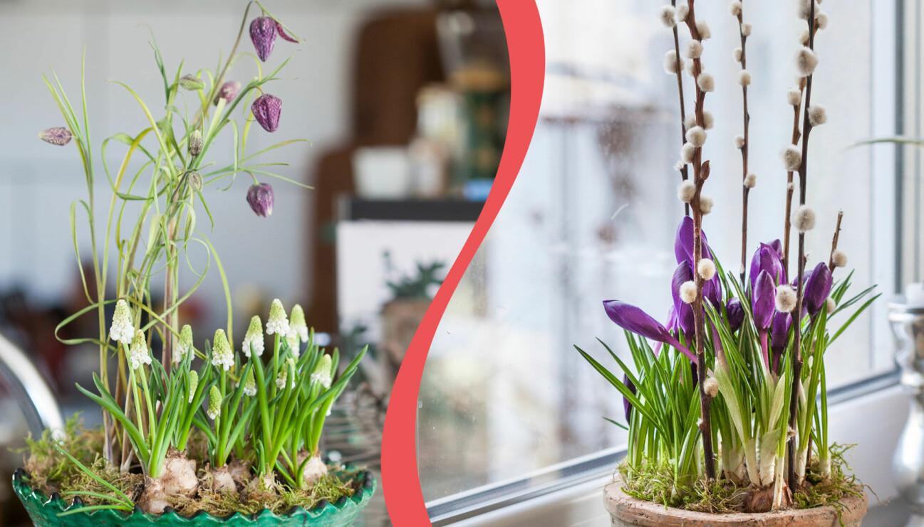 Samplantera dina vårvinterblommande lökar så här.